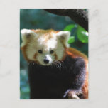 Adorable Red Panda  Postcard