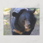 Black Spectacled Bear Postcard