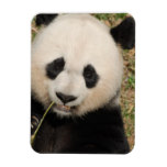 Cute Giant Panda Bear Magnet