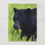 Hungry Black Bear Postcard
