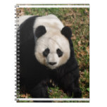 Petulant Panda Bear Spiral Notebook