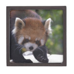 Prowling Red Panda Gift Box