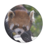Prowling Red Panda Paper Plate