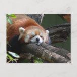 Sleeping Panda Bear  Postcard