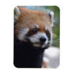 Sweet Red Panda Bear Magnet