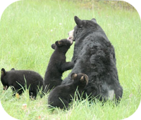 Black Bear Cubs and Mother