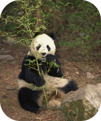 Giant Panda Bear Photo