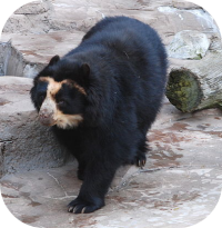 Spectacled Bear Photo